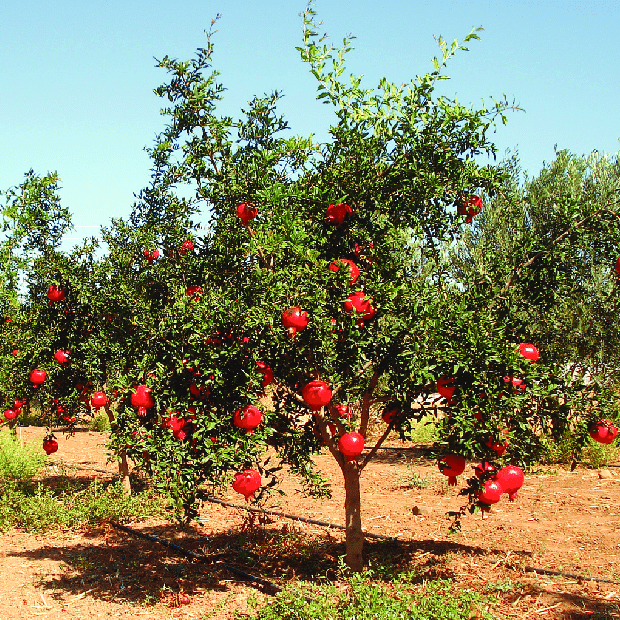 A-view-of-a-pomegranate-tree
