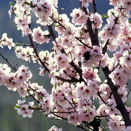 halls-hardy-almond-blooms