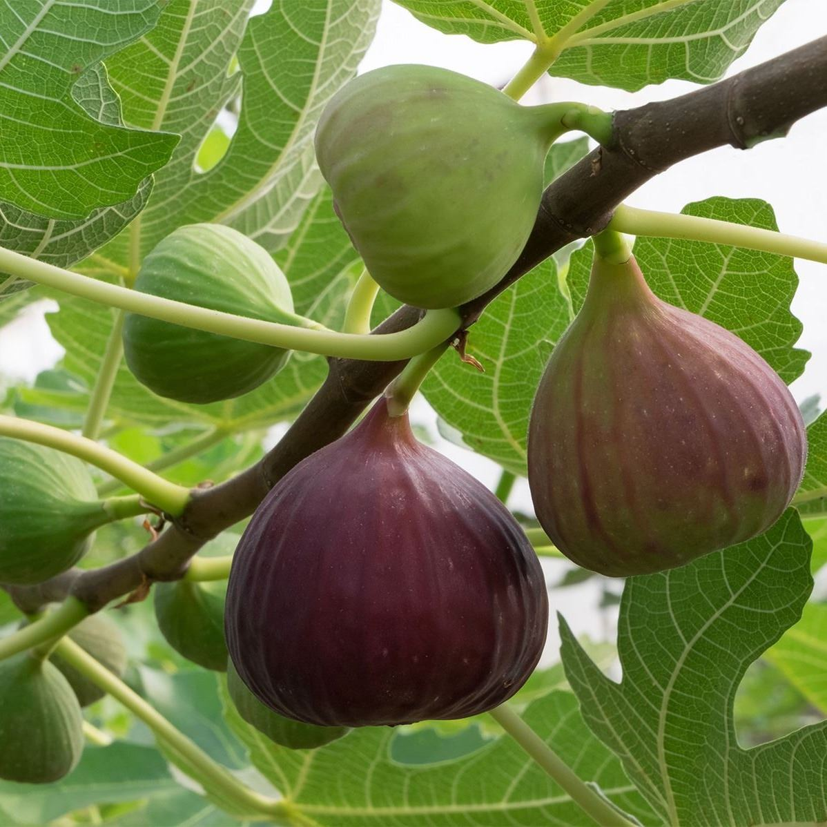 figs-fig-tree
